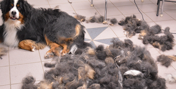 sheds shed animals apparent to stay control the how dog ahead home in shedding do grooming hair why their pet